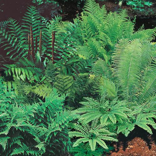 Native Woodland Plants: Shade Perennials: Native Woodland Ferns From Van Bourgondien