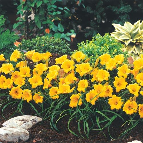 Sun Perennials Daylily Hemerocallis Stella D Oro