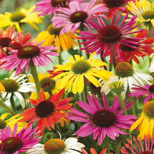Best Sellers Echinacea Mixed