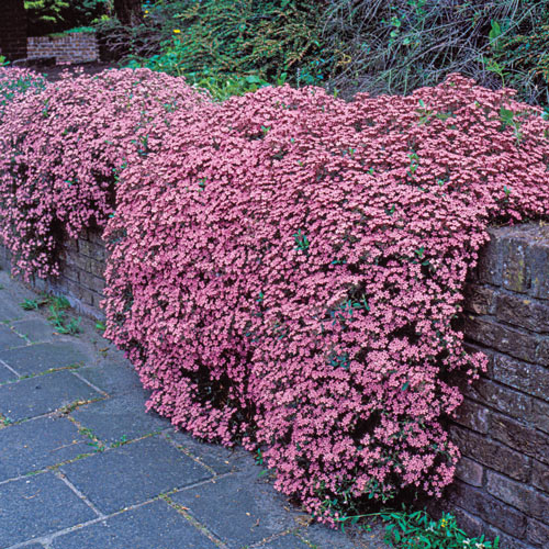 Saponaria Ocymoides Cote Dazur Pinks K Van Bourgondien
