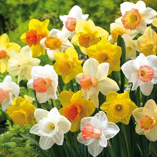 Thank You For Your Order >> Mixed Trumpet Daffodils for Naturalizing | K. van Bourgondien