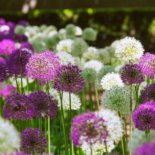 Giant Allium Duet K Van Bourgondien