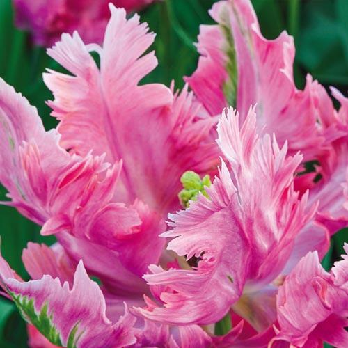 Parrot Tulip Parrot Pinkvision