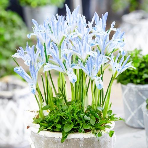 Iris reticulata Painted Lady