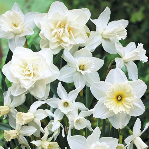 Narcissus bulbs for fall planting white daffodil blend enlarge icon white daffodil blend mightylinksfo