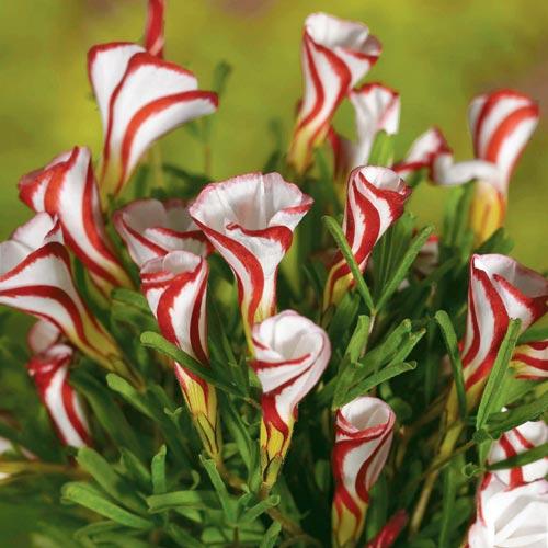 Oxalis versicolor (Candy Cane Sorrel)