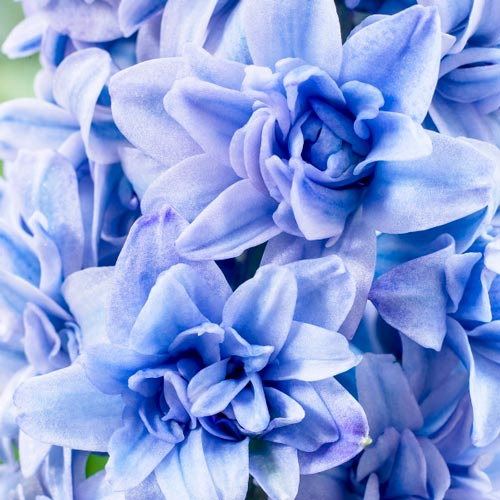 Double Hyacinth Blue Tango