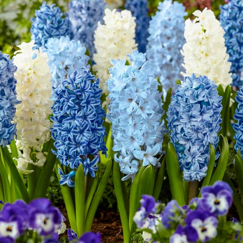 Blue-White Hyacinth Blend