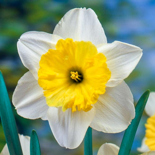 Large Cupped Daffodil Raoul Wallenberg