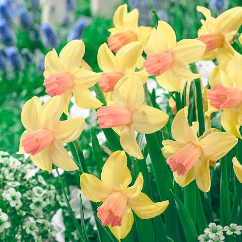 Cyclamineus Daffodil Prototype