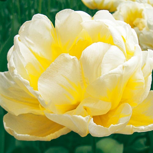 Double Peony Tulip Flaming Evita