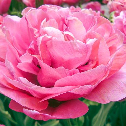 Double Peony Tulip Amazing Grace<sup>&reg;</sup>