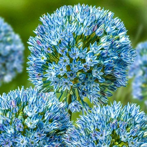 Allium caesium Zamin