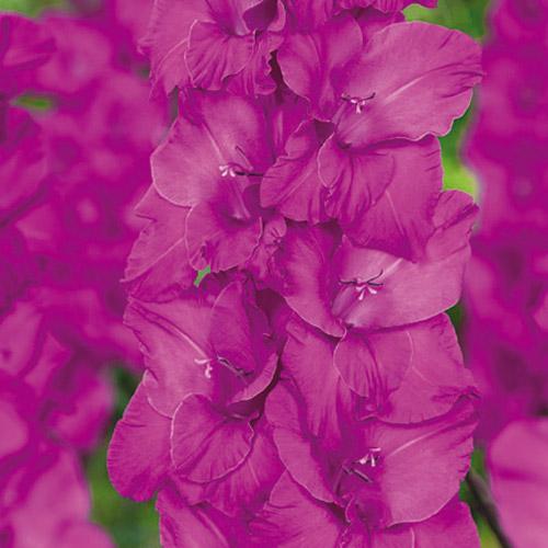 Hybrid Gladiolus Sugar Plum