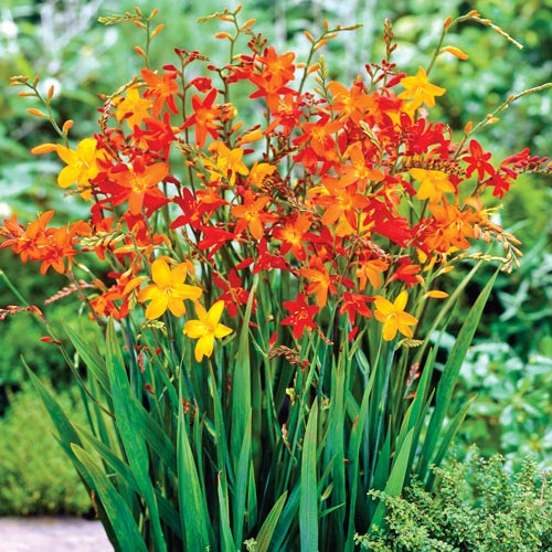 crocosmia mix bulbs from k van bourgondien. Black Bedroom Furniture Sets. Home Design Ideas