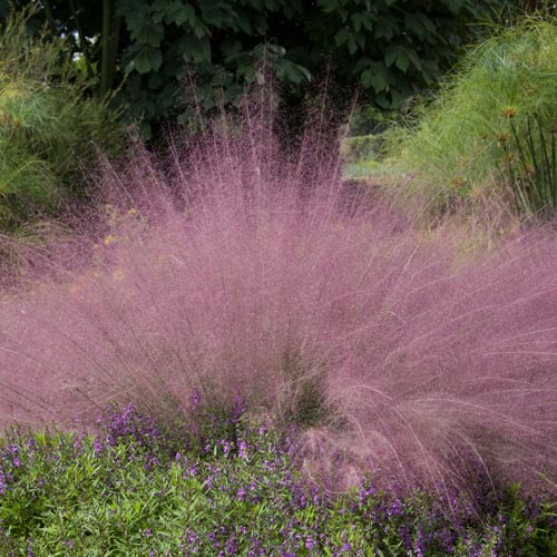 Buy Pink Cotton Candy Grass From K Van Bourgondien