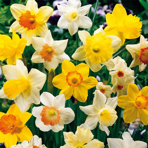 Most Popular Daffodil Collection