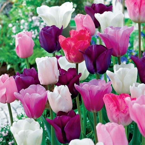 Plum parade tulip mix k van bourgondiens enlarge icon plum parade tulip mix mightylinksfo Image collections