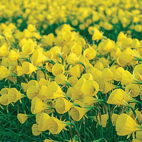 Narcissus Bulbocodium Oxford Gold<sup>&reg;</sup>