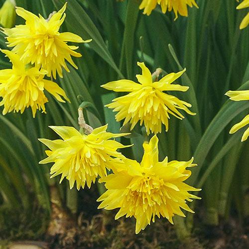 Double Daffodil Rip Van Winkle