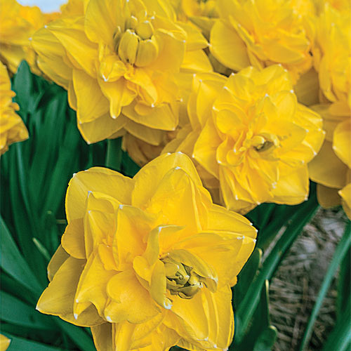 Double Daffodil Grandiosa