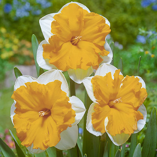 Split-Corona Daffodil Orangery