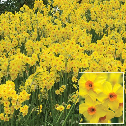 Fragrant Daffodil Martinette