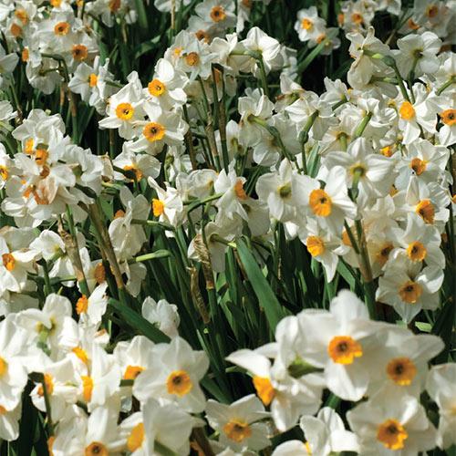 Fragrant Daffodil Geranium
