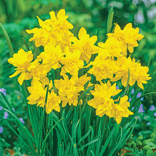 Fragrant Daffodil Double Campernelle