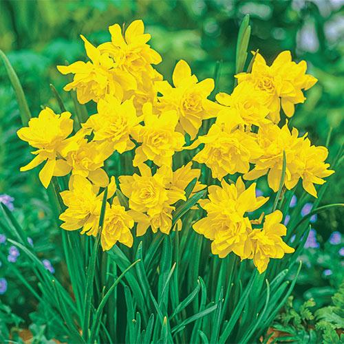 Fragrant Daffodil Double Campernelle
