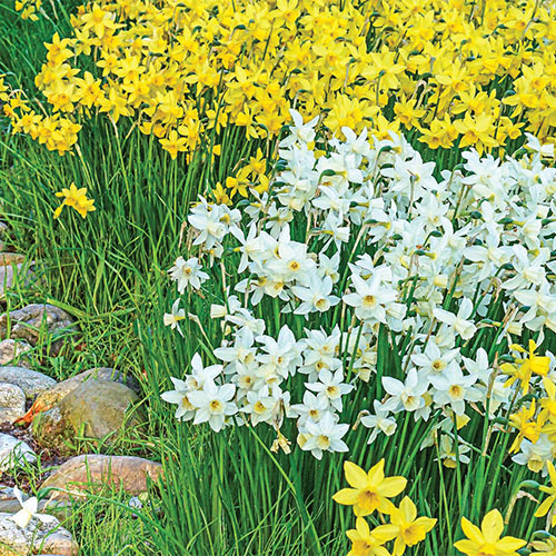 Fragrant Daffodil Sailboat