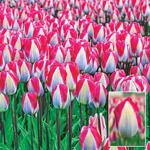 Triumph Tulip Showgirl
