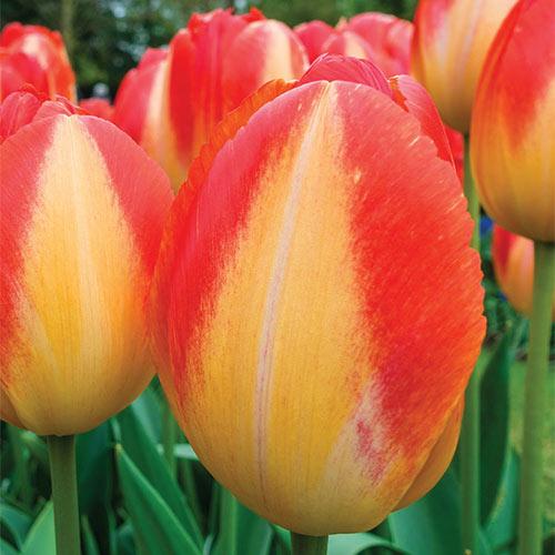 Triumph Tulip Prince Armin