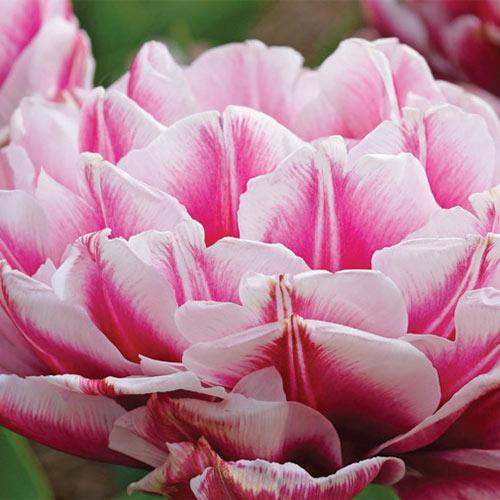 Double Peony Tulip Dazzling Desire