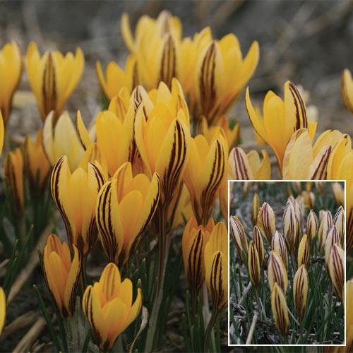 Species Crocus Early Gold (Corsicus)