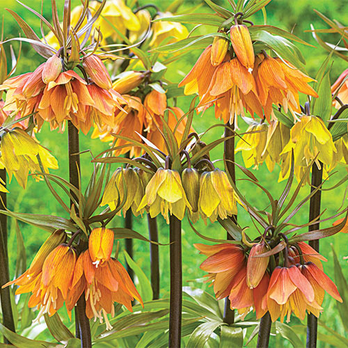 Crown Imperial Mix