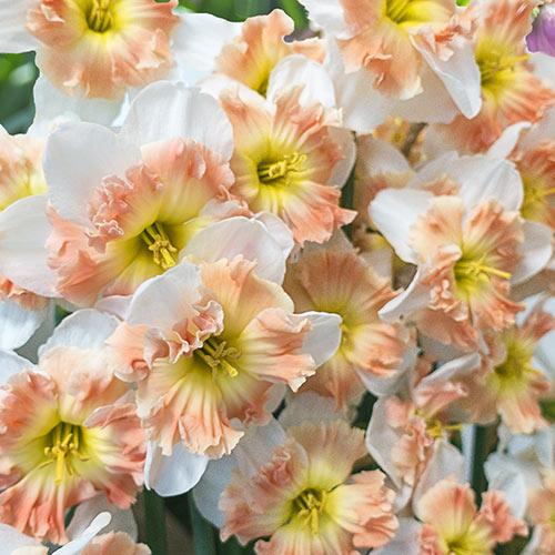 Split-Corona Daffodil Mallee