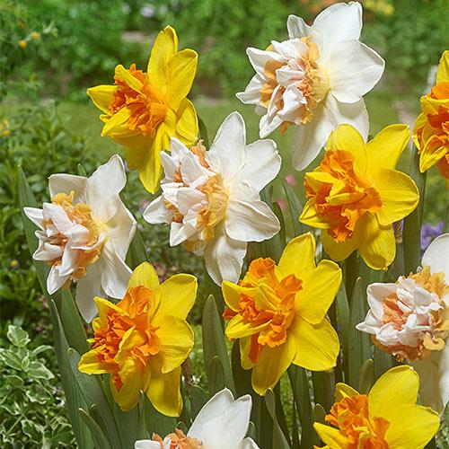 Extravaganza Daffodil Mix