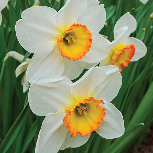 Large Cupped Daffodil Flower Record