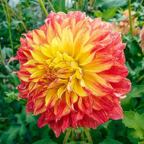 Dinnerplate Dahlia El Sol