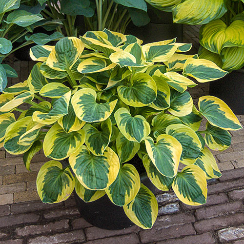 Hosta Anne Spring Planting K Van Bourgondien