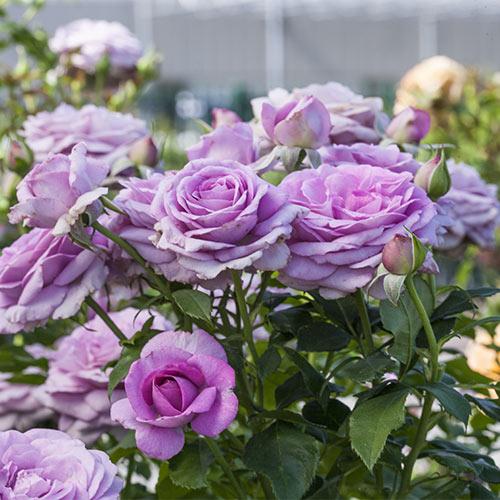 Violet S Pride Rose K Van Bourgondien Wholesale