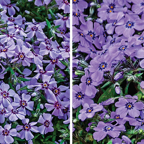 Carpet Phlox Duo