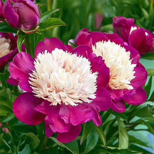 Bush Peony White Cap Spring Planting K Van Bourgondien