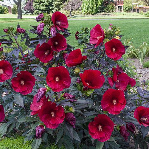 Hibiscus Midnight Marvel Spring Planting K Van Bourgondien