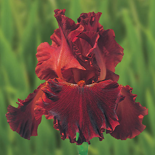 German Iris Play with Fire