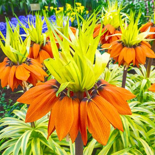 Variegated Crown Imperial (Fritillaria imperialis 'Aureomarginata')