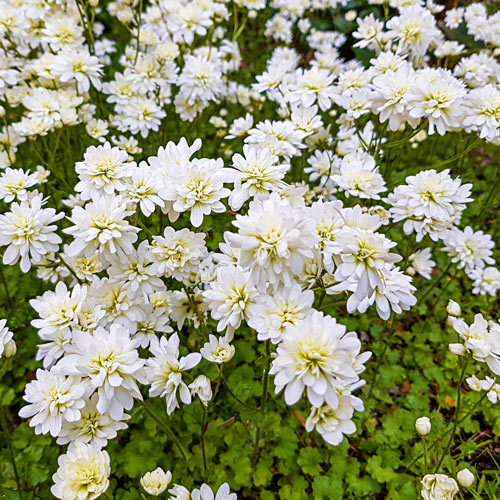 Double-Flowered Meadow Saxifrage (Saxifraga granulata 'Flore Pleno')