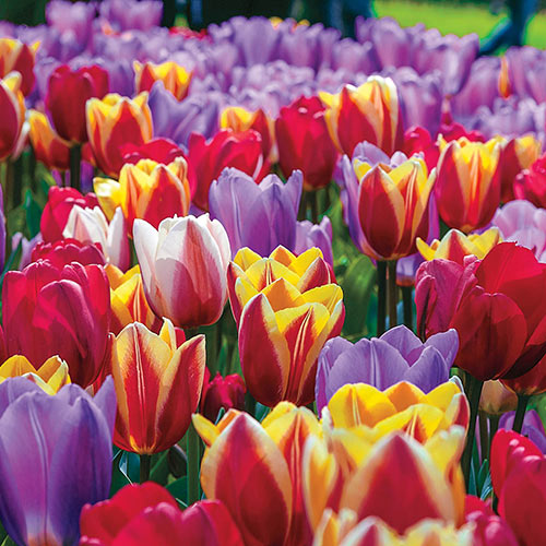 Forever Spring<sup>&trade;</sup> Tulip Mix