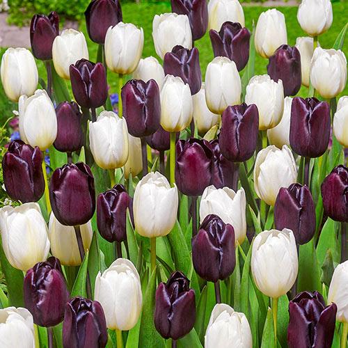 Black and White Tulip Mix